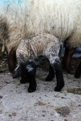 sheep07